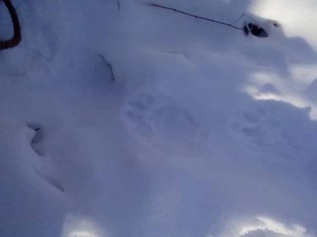 Стая волков напала на ферму в Забайкалье