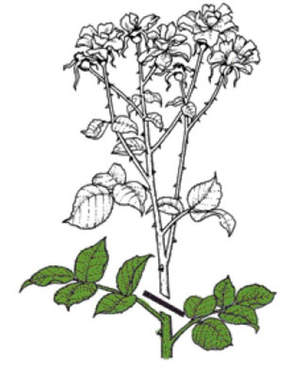 Розы группы флорибунда. Правильно обрезанные соцветия – до первого побега или на почку, ориентированную наружу.