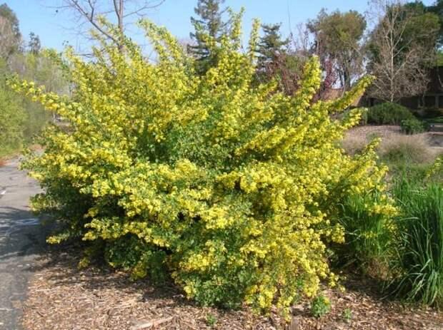 Смородина золотистая − кусочек солнца в нашем саду