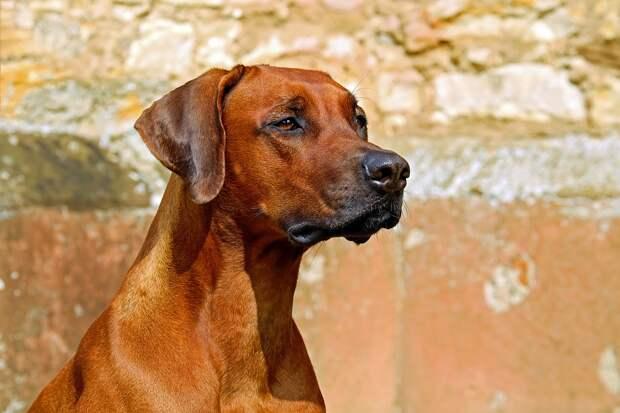 Родезийский Риджбек, Собака, Караульной Собаки
