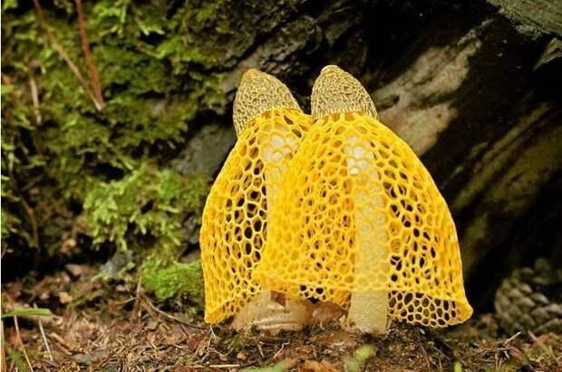 24. Бамбуковый гриб / Dictyophora Indusiata грибы, факты, это интересно