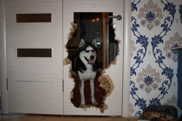 Проникают в соседние комнаты домашний питомец, животные, подборка, прикол, собака, юмор