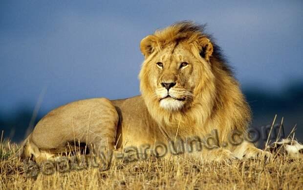 Самый красивый лев