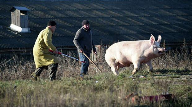Теперь и свиньи: реформы добрались до главного богатства Украины