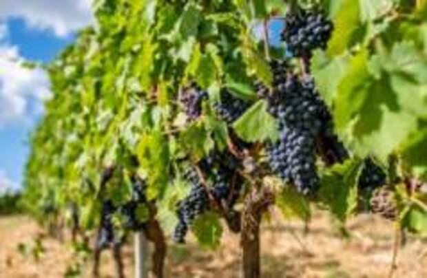 Тосканский отель предлагает взять шефство над виноградником или оливковыми деревьями