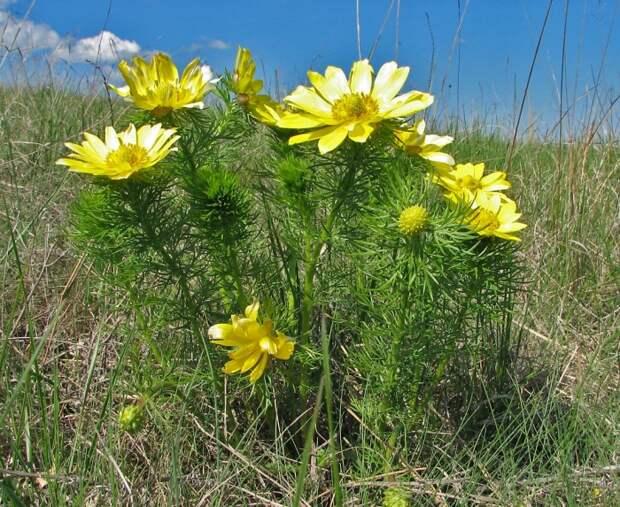 Применение лекарственного растения адонис весенний