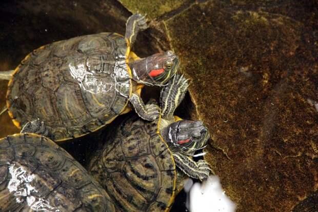 Красноухие черепахи массируют друг друга вместо флирта.