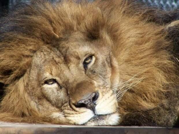 Как любовь льва спасла лев, львица, любовь