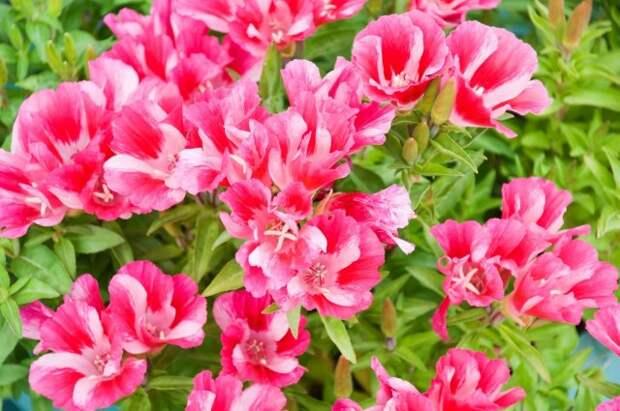 beautiful garden flower Godetia amoena Ruddigore