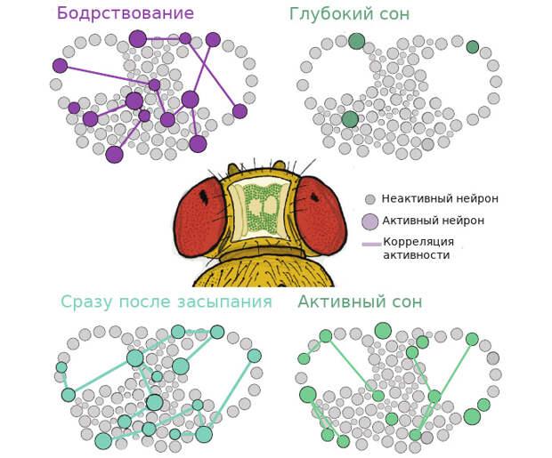 Рис. 5. Активность клеток центрального комплекса ганглиев дрозофилы