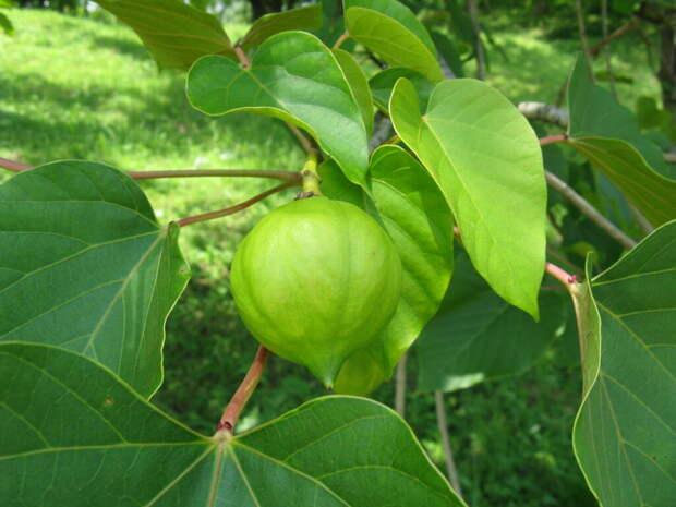 Смертельно ядовитый фрукт созрел в сочинском дендрарии