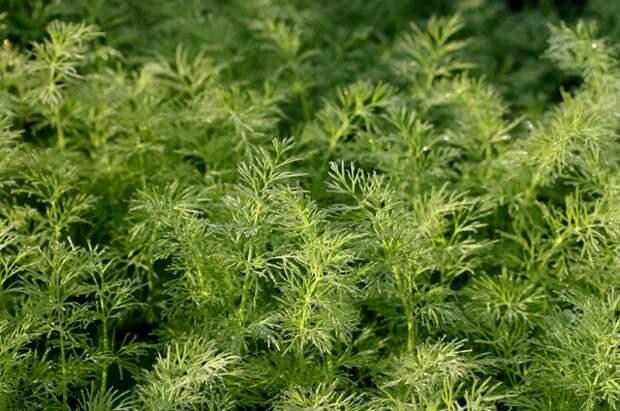 Кустовой укроп: история выведения, видовые особенности и уход за растениями
