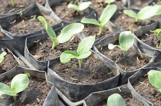 Выращивание кабачков и патиссонов через рассаду
