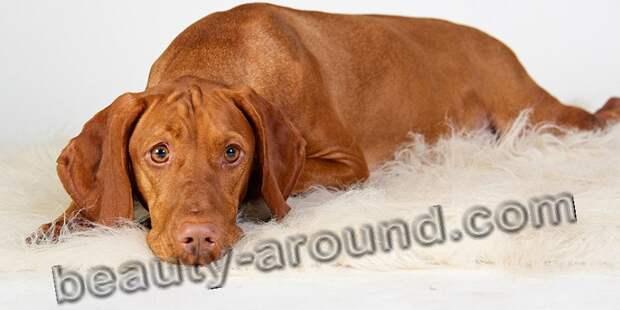 Венгерская выжла (венгерская легавая) красивые фотографии собак, породы собак с фотографиями