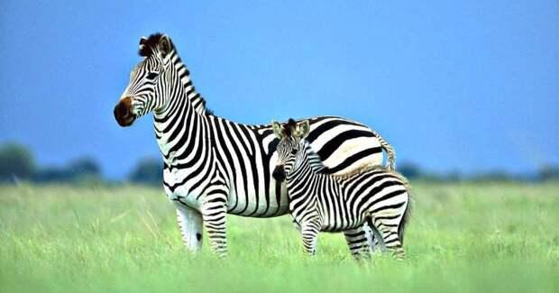 Ученые разгадали секрет окраски зебры. Вы будете удивлены