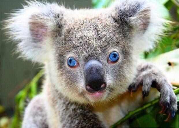 Особенность коал
