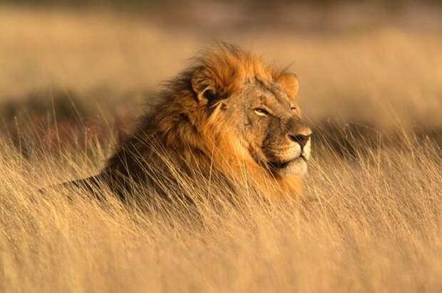 Фото льва
