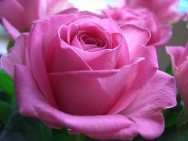 Чайно-гибридные розы – лучшие сорта для вашего сада