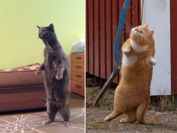 Кошки, которые уже научились стоять на двух лапах