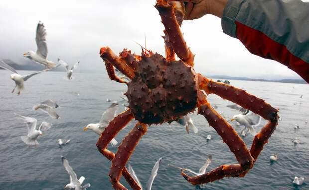 На Дальнем Востоке всерьез возьмутся за ловлю краба