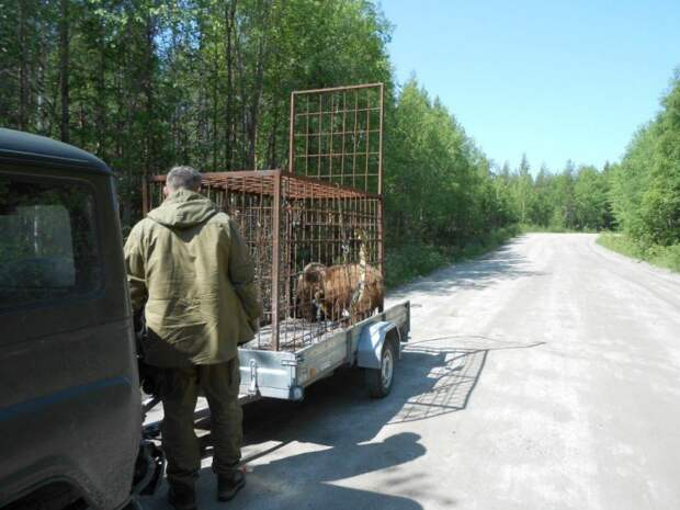 Милые карельские медвежата выпрашивают еду у водителя видео, животные, медведи