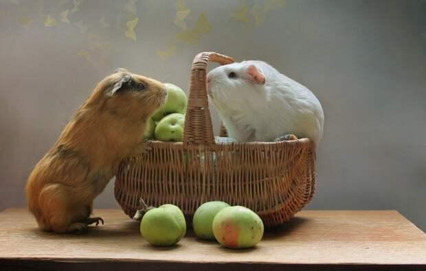В Швейцарии морских свинок можно держать только парами.