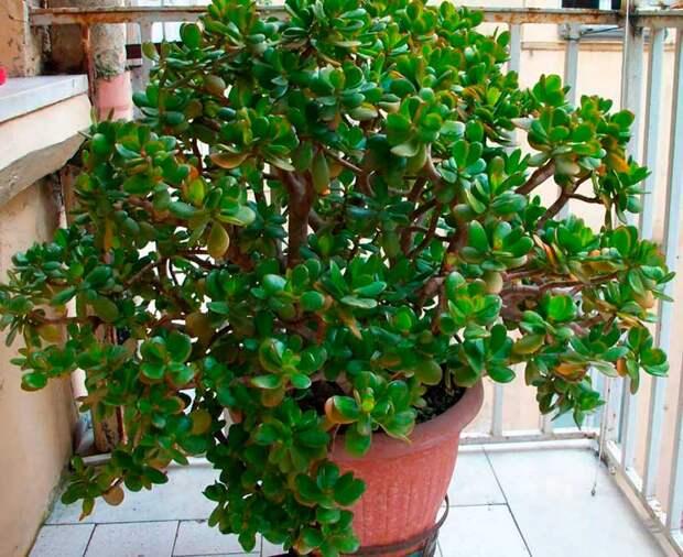 Комнатное растение Крассула (Crassula)