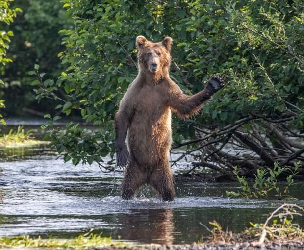 Бурый медведь. «Привет!»