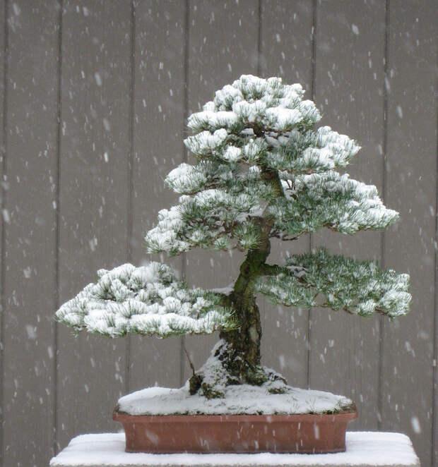 Бонсай зимой – особенности ухода