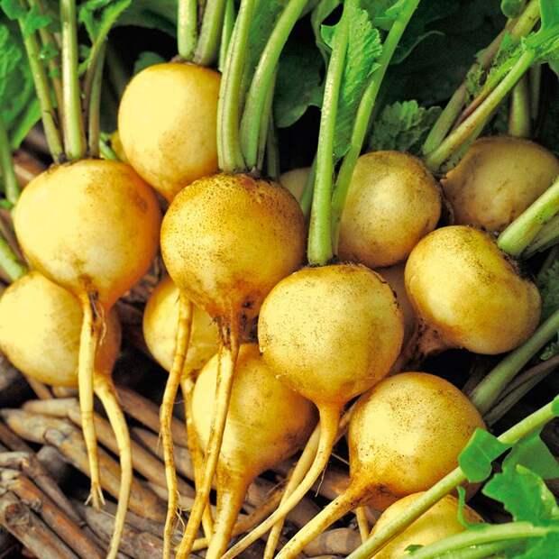 Новые сорта редиса, которые стоит посадить