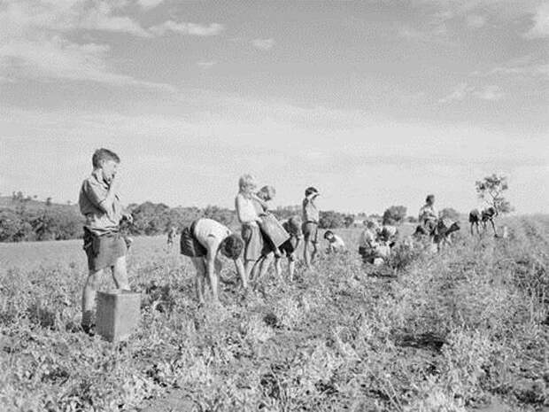Дети собирают горох на полях