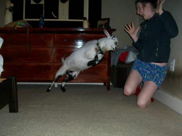 3. Летающая коза курьезные, фото, юмор