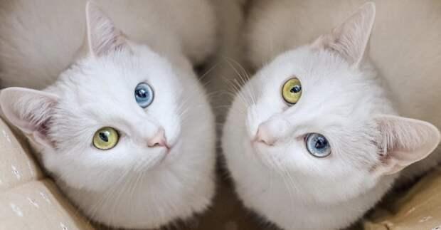 20. Ирис и Эбисс - однояйцевые близнецы с разным цветом глаз