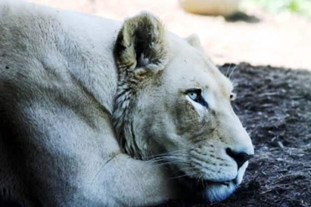 Львица лежит