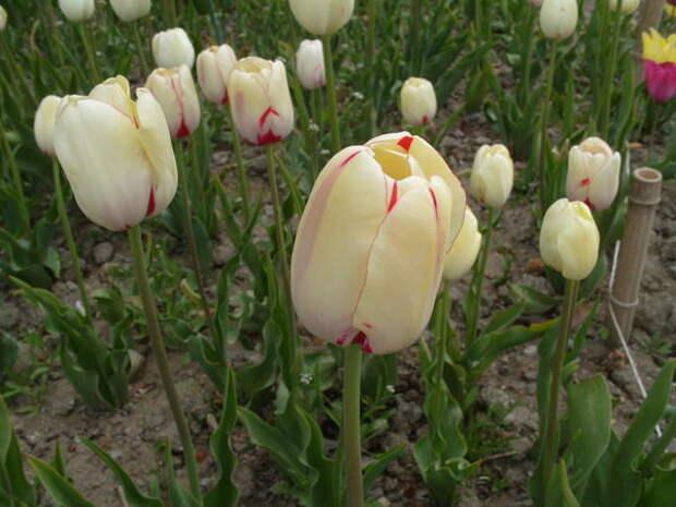 Тюльпан сорт La Courtine