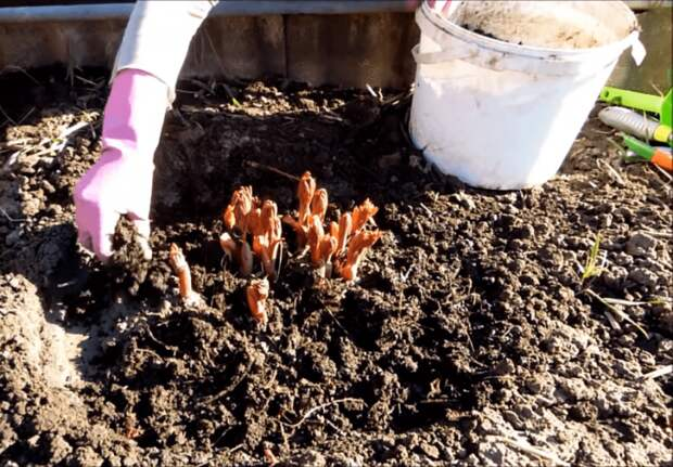 Готовим пионы к обильному цветению