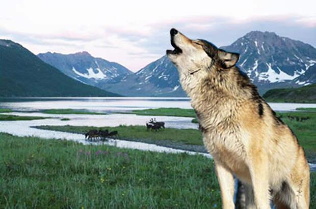 Волк на фоне северной природы