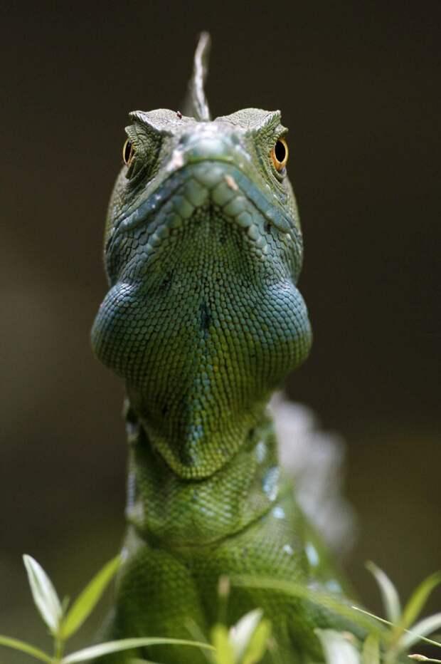 Серьезный подход к фотографированию. Игуана, Коста-Рика.  животные, жизнь, позитив, эмоции