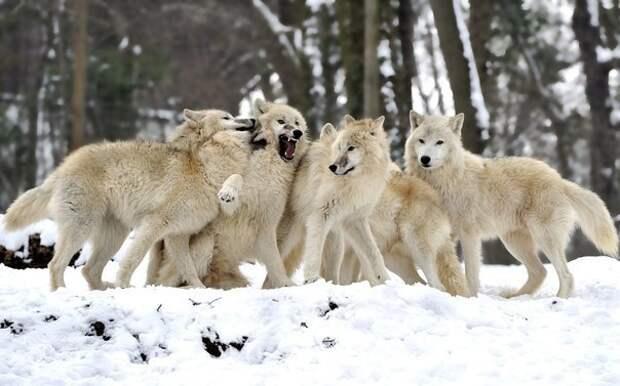 Важность волков в экосистеме, изображение №1
