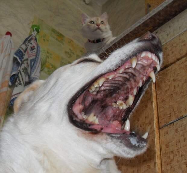 После прогулки кормёжка. Хамура выдержан, Арчи в нетерпении. дружба животных, кот, пёс