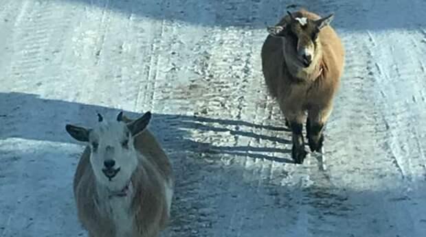 Пока мужчина выгружал заказ в гараж к людям, в его грузовик забрались две любопытные козы