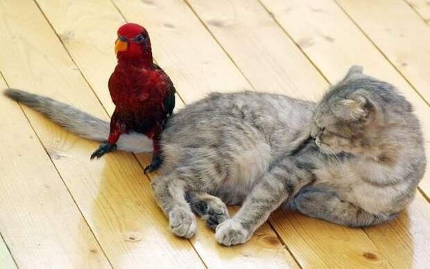 Как попугаи раздражают кошек