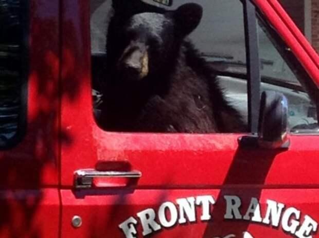 Медведь забрался в пикап за бутербродом