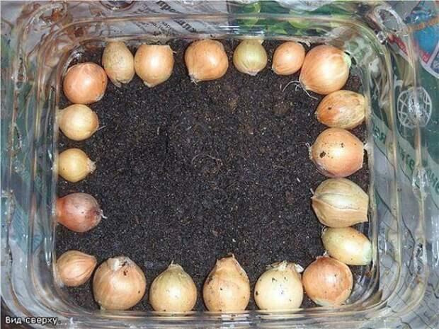 лук в контейнере из бутылки 5л: Органическое земледелие, пермакультура