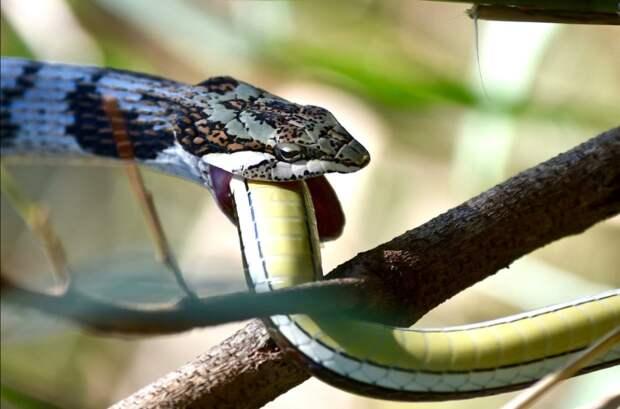 Змея каннибал 4