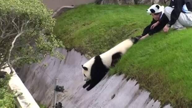 Эпичный побег панды от сотрудников зоопарка