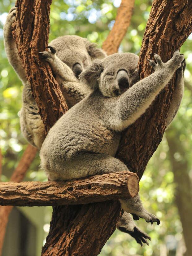 Ты, конечно, воображаешь, что они целыми днями спят на деревьях, такие милые, пушистые и мягкие зверьки, верно? видео, животные, коала, ужас