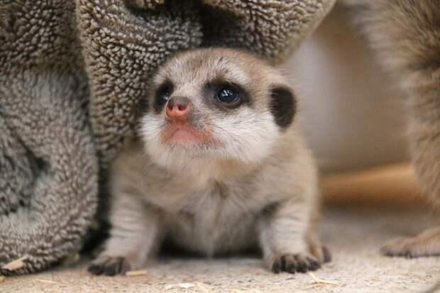 Слишком классный! Парень украл малыша суриката из зоопарка, не устояв перед его обаянием
