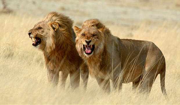 Африканский лев Количество смертей в год: более тысячи человек Гигантские клыки? Есть. Скорость атаки? Еще бы. Бритвенно-острые когти? А как же. Вечно голодный? Вам лучше надеятся, что при встрече с африканским львом, ответ на последний вопрос будет отрицательным. Эти большие кошки прирожденные охотники: на людей они нападают редко, но почти каждое нападение заканчивается смертью.