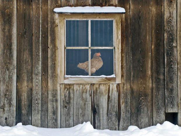 Интересные идеи обустройства куриного жилья